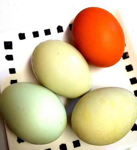 安心、安全。鶏の育て方~採卵方法~
