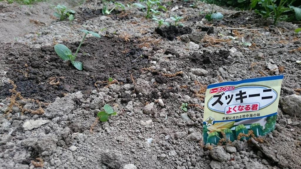 家庭菜園で栽培中のズッキーニ