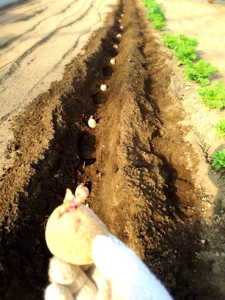 メークイーン種芋の植付け