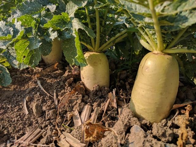 大根の栽培~種まきから育て方、収穫まで