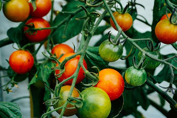 トマトがたくさん実る